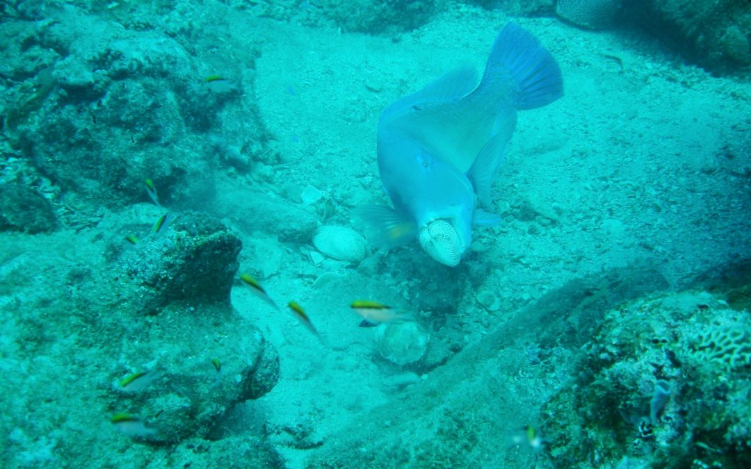 Tuskfish uses rock to crack open cockle shell
